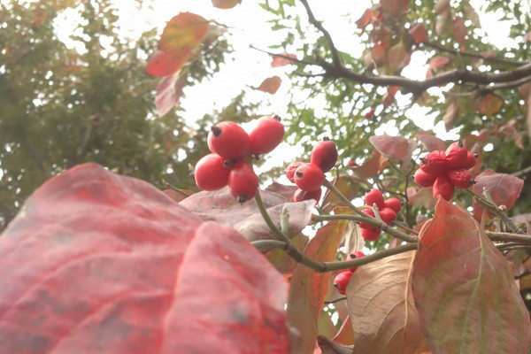 紅葉したハナミズキの葉と赤い実